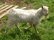 Продам зааненского козла и козликов